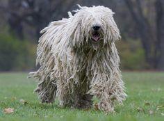 Komondor Özellikleri: Diğer isimleri ile Macar Çoban Köpeği, Macar Komondor, Hungarian Komondor, Hungarian Sheepdog geniş kaslı vücuduna oranla fazlasıyla çevik bir köpektir. Alışılmadık bir tüy yapısı vardır, görünütüsü bir koyunu andırır. Tüyleri bukleli bir şekilde uzar ve neredeyse gözlerini bile kapatır. Göz renkleri genellikle kahverengidir. Uzun kulakları aşağıya doğru sarkıktır.