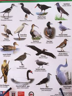 Pato Real, Medical Mnemonics, Animals And Pets, Birds, Ceramics, World, Painting, The World, Exotic Birds