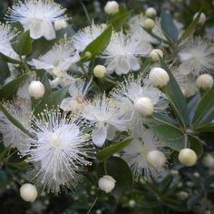 Myrte en fleurs blanches.