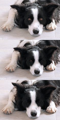 sleeping border collie....exactly how Rosco typically sleeps