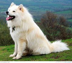 beautiful white Swedish Lapphund