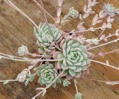 alternative, pastel, and cactus image Growing Succulents, Cacti And Succulents, Planting Succulents, Planting Flowers, Echeveria, Cactus Plante, Air Plant Terrarium, Plant Aesthetic, Deco Floral