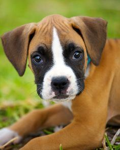 boxer puppy<3  there so cute, can i have him please <3 <3