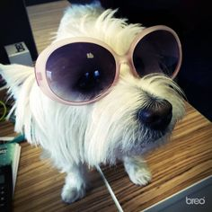 The office dog Betty in her namesake sunglasses!