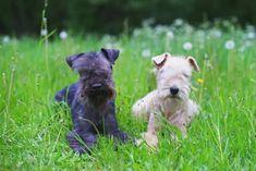 Lakeland Terrier schwarz und Lakeland Terrier weiß Lakeland Terrier, Labrador, Dogs, Animals, Image, Toller Dog, Dog Care, French Bulldog Shedding, Dog Food