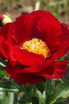 Paeonia lactiflora Beautiful