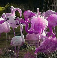 Flamingos are pink. There are no violet flamingos.< actually flamingos feathers change color with how much of a certain food they eat. Shrimp=pink flamingo, whatever zooplankton in that water= purple flamingos Pretty Birds, Love Birds, Beautiful Birds, Animals Beautiful, Cute Animals, Wild Animals, Baby Animals, Exotic Birds, Colorful Birds