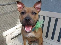 ~~PRETTY 1 YR OLD PUPPY TO BE DESTROYED 7/24/14~~ Manhattan Center -P  My name is RUTH. My Animal ID # is A1007225. I am a female brown american staff mix. The shelter thinks I am about 1 YEAR   I came in the shelter as a STRAY on 07/18/2014 from NY 10472, owner surrender reason stated was STRAY.