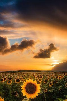 sundxwn: Sunflower sunset by Adrian Malanca