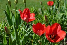 zatrzymany czas: Tulip`s day