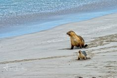 On the beach - Mother seal and son baby puppy australian sea lion in kangaroo island