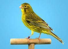 Resultat d'imatges de canario roller Canario Da Terra, Canary Birds, Parrot, Painting, Animals, Image, Fancy, Youtube, Rpg