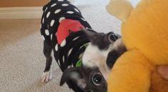 1 - 2 - 3 ! Watch this Cute Boston Terrier Fetch a Pokemon Plush! ► http://www.bterrier.com/?p=28438 - https://www.facebook.com/bterrierdogs