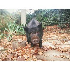 Emma Philip designer - My pig Nellie's autumn face