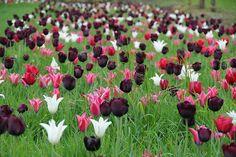 Tulipa Ronaldo,Tulip 'Ronaldo', Triumph Tulip 'Ronaldo', Triumph Tulips, Spring…