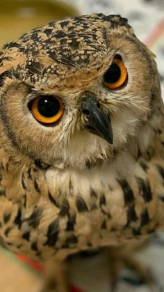 I love owl knick-knacks. My grandmother had a huge collection. I still have several pieces, they remind me of her. Nature Animals, Animals And Pets, Baby Animals, Cute Animals, Owl Photos, Owl Pictures, Beautiful Owl, Animals Beautiful, Mon Zoo