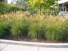 Miscanthus sinensis 'Adagio' - Hundreds of plumes held above the foliage emerge bronzy-pink, fading to white. A dwarf plant with graceful, silvery-green arching foliage becoming a whirl of orange, gold and burdundy in fall. Spectacular in mass or mixed into perennial borders. 5' tall (with the plumes) and 3' wide