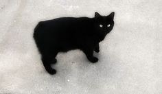 Love me a Black Manx...We don't need no stink'in tails!