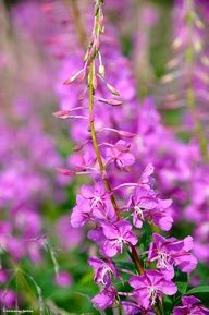 Beautiful Fireweed from the Alaska wilderness. Photo by: Roy Neese