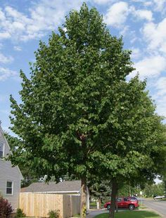 Classic Shade Tree Grows up to 8 feet per year -  One of the fastest growing and most attractive shade trees you can find.  New home builders love to use our Poplars as front yard shade trees. They quickly become established and can add thousands to a homes value. Hybrid Poplars have a pleasing oval shape that complements any property....