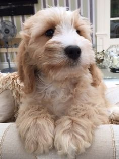 Mini Cockapoo, Toy Cockapoo, Cute Little Puppies, Cute Dogs And Puppies, Doggies, Crazy Dog Lady, Pet Birds, Poodle, Pets