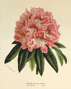Rhododendron antique Botanical Art Prints by VictorianWallArt, $10.00