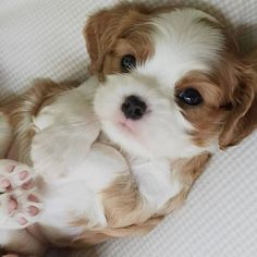 Best Emotional Support Dog Breeds For Anxiety Cute Baby Dogs, Cute Dogs And Puppies, I Love Dogs, Adorable Puppies, King Charles Dog, King Charles Spaniel, Cute Little Animals, Cute Funny Animals, Support Dog