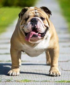 ❤ English Bulldog. Looks just like the one we had when I was a kid. Sir Winston O'Toole, aka Barney.
