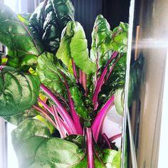 Chard got too big so now it's going to be added to my green juices this week.  #iwanttobeafarmer #charlottefarmer #life #growth #health #cltchefs #cltfood #charlottecookstoo #growsomethinggreen #sustainable #organic  #veggies #backyardfarm #urbanfarm #cleaneating #sustainable #towergardenofficial #towergarden #aeroponics #aeroponicgardening #growyourownfood #pesticidefree #farmtotable #vitaminc #minerals #chard #swisschard #igrewitfromseed #wholefoods #eattolive #vegan by pinkstemfarm