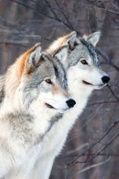 Save the wolfes in freedom!