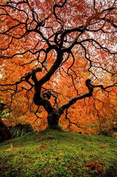 Beautiful Japanese maple shows its red color of the leaves in Autumn, Portland Japanese Garden, Oregon, United States