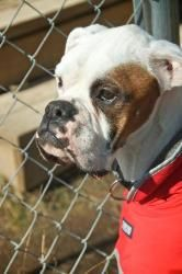 Percy is an adoptable Boxer Dog in State College, PA. State College, Boxer Dogs, Animal Rescue, March, Life, Animals, Animales, Animaux, Boxer