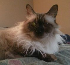 Jinxy Hypoallergenic Cats, Kitty Kitty, Animales