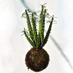 Kokedama di Euphorbia, Euphorbia candelabrum crestata, string of pearls plant, flying catus, string garden, wall flowers, Succulens. di KokiMilano su Etsy