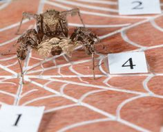Can spiders really count?