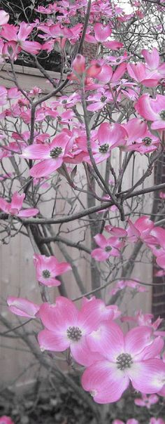 Pink Dogwoods... we have this tree in the back yard! want one!!