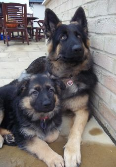 My beautiful German Shepherds Bella and her little sister Coco