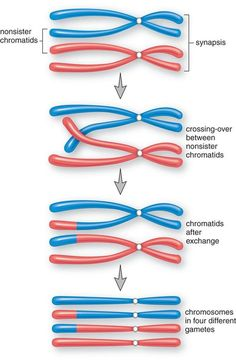 biology biologia Variations in Meiosis: The Parthenogenetic Lizards - Ricochet Science Biology Classroom, Biology Teacher, Cell Biology, Ap Biology, Molecular Biology, Teaching Biology, Science Biology, Science Education, Life Science