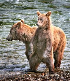 Grizzly cub standing | par Rob Kroenert