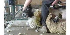 Image result for sheep shearing Sheep Shearing, Goats, Image, Goat