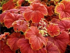 Heuchera Delta Dawn Delta Dawn - Huge leaves of gold and red. Colors change throughout the season. Heuchera is a clump forming shade perennial with strong robust habit