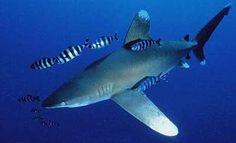 žralok dlouhoploutví