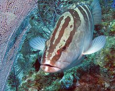 """Nassau Grouper & Sea Fan"" by A.M. Ruttle | Redbubble  See also:  DontEatGrouper.com !!!!!"