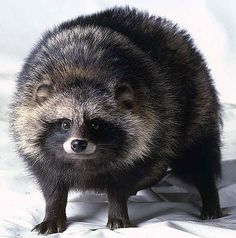 Although the raccoon dog resembles a raccoon, due to its shape, size and facial characteristics, it is very much a member of the dog family. It is considered to be one of the earliest species that other dog species have evolved from.  It is native to east Asia, but has also been introduced into eastern Europe. Due to habitat destruction and extensive hunting and trapping - mainly for its fur – the numbers have declined in east Asia. In Europe, however, it is considered an invasive species.