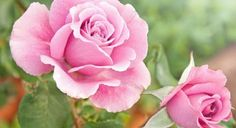 Find Beautiful Pink Rose Garden stock images in HD and millions of other royalty-free stock photos, illustrations and vectors in the Shutterstock collection. Beautiful Pink Roses, Amazing Flowers, Diarmuid Gavin, Heritage Rose, Rose Varieties, Sensory Garden, Rose Bush, Antique Roses, Garden Photos