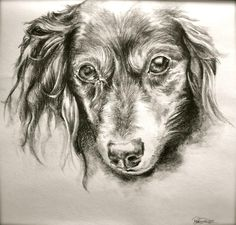 Long Haired Miniature Dachshund art | Long Haired Dachshund Drawing by Danielle Pellicci
