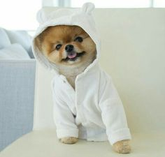 Jiff the Pomeranian is a Cute Little Dude With a Very Particular Set of Skills Baby Animals Super Cute, Cute Baby Dogs, Cute Little Puppies, Cute Dogs And Puppies, Cute Animals, Teacup Puppies, Kittens And Puppies, Kittens Cutest, Cute Cats