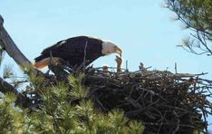 Exotic Birds, Colorful Birds, Baby Bald Eagle, Ohio Birds, Bird Barn, Barn Owls, Eagle Nest, Snowy Owl, Little Birds