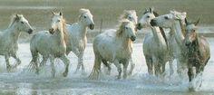 Wild-Horses-Camargue-Horses-Herd-Run-In-Stream