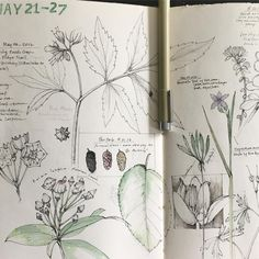 Lara Gastenger- Journal entry this week. have you seen the mountain laurel blooming where you are? Mulberries falling from trees? Blue-eyed grass shining at your feet? Plant Illustration, Botanical Illustration, Botanical Drawings, Botanical Prints, Artist Journal, Bullet Journal Art, Plant Drawing, Sketchbook Pages, Nature Journal